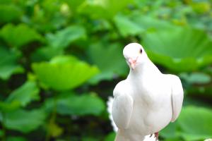 会社のベランダにハトが卵産んだ